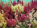 Celosia wool flower from Lalbagh flower show Aug 2013 8461.JPG