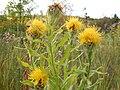 Centaurea macrocephala (4998441387).jpg
