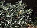 Centaurea ragusina Risan Bay of Kotor yard of the St. Michael 2.JPG