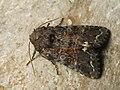 Ceramica pisi - Broom moth - Совка гороховая (39257037710).jpg