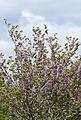 Cercis siliquastrum - Erguvan - Judas tree 01.jpg