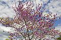 Cercis siliquastrum - Judas tree - Erguvan 03.jpg