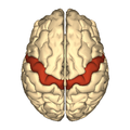 Cerebrum - precentral gyrus - superior view.png