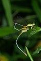 Ceriagrion cerinorubellum-Kadavoor-2016-04-11-001.jpg