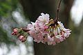 Cerisier en fleurs (8582873584).jpg