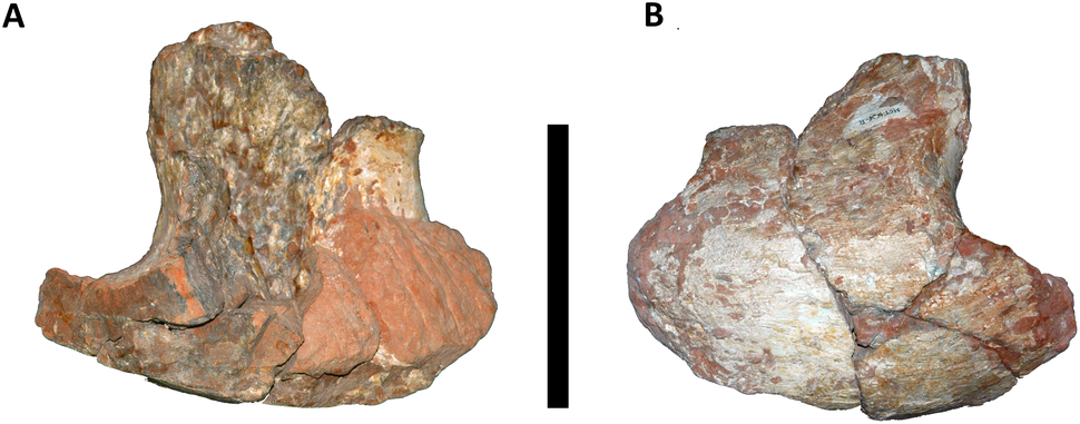 Cervical rib of Austroposeidon