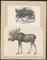 Cervus alces - 1700-1880 - Print - Iconographia Zoologica - Special Collections University of Amsterdam - UBA01 IZ21500110.tif
