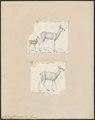 Cervus capreolus - 1700-1880 - Print - Iconographia Zoologica - Special Collections University of Amsterdam - UBA01 IZ21500015.tif