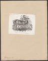 Cervus virginianus - 1851-1876 - Print - Iconographia Zoologica - Special Collections University of Amsterdam - UBA01 IZ21500037.tif