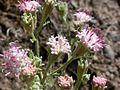 Chaenactis douglasii flowers (3326810121).jpg