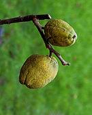 Chaenomeles x superba 'nicolina' (chinese kwee). Locatie. Tuinreservaat Jonkervallei 02.JPG