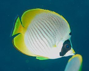 Description de l'image  Chaetodon_adiergastos.jpg.
