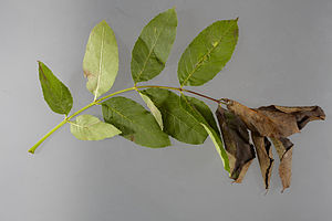 Hymenoscyphus fraxineus - Wilting of leaves caused by necrosis of the rachis