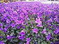 Champs de fleur violette.jpg