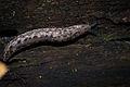 Changeable Mantleslug (Megapallifera mutabilis) (17093868429).jpg