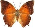 Charaxes amycus - Marinduque.jpg