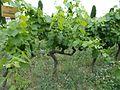 Chardonnay - vines.jpg