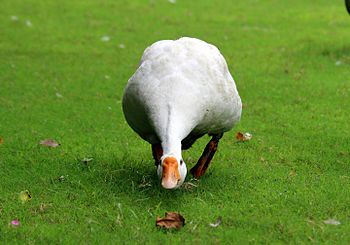 Charming white Duck.jpg