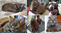 Chat femelle (Havane) - Montage.jpg