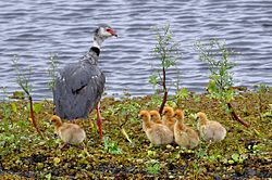 Chauna torquata -Santa Vitoria do Palmar, Rio Grande do Sul, Brazil -adult and chicks-8.jpg
