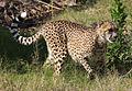 Cheetah 1 (3309861374).jpg
