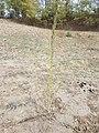 Chenopodium urbicum sl43.jpg