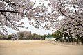 Cherry blossom 2011 (5641576350).jpg