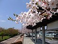 Cherry blossoms and Tsukubasan - panoramio.jpg