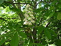 Chestnut-flower-oliv.jpg