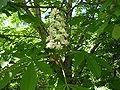 Chestnut-flower-oliv.jpg