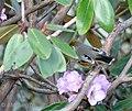 Chestnut tailed Minla I2 IMG 3736.jpg