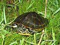 Chicken turtle (Deirochelys reticularia) Florida Sub adult.jpg