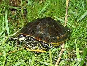Chicken turtle - chicken turtle (Deirochelys reticularia) Florida Sub adult