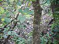 Chionanthus mala-elengi (Dennst.) P.S.Green (15665107493).jpg