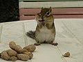 Chipmunk with peanuts (1311171102).jpg