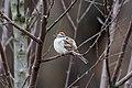 Chipping sparrow prospect park april 2019.jpg