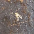 Chironomidae - Flickr - gailhampshire.jpg