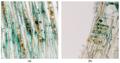 Chlorociboria-wood-Coatings-07-00188-g001.png