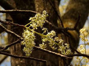 Chloroxylon swietenia - Ragihalli Forest, Bengaluru district, India.