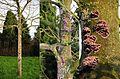 Chondrostereum purpureum syn. Stereum purpureum (GB=Purple silverleaf, D= Violetter Knorpelschichtpilz, NL= Paarse korstzwam) white spores and causes Silver leaf disease (loodglansziekte), at this Chestnut tree Arnhem - panoramio.jpg