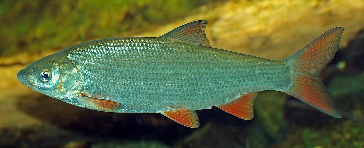 Nase fisch wikipedia for Teichfische algenfresser