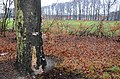Christmas with rain, Pleurotus ostreatus (Oyster Mushroom, D= Austernseitling, F= Pleurote en forme d'huître ou P. en coquille, NL= Gewone oesterzwam) white spores and causes white rot, at Schelmseweg and Hoge Erf Scha - panoramio.jpg