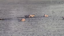 File:Chroicocephalus ridibundus video.webm