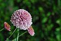 Chrysanthemum - Science City - Kolkata 2012-01-11 8028.JPG
