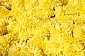 Chrysanthemum Sunny Igloo 0zz.jpg