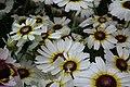 Chrysanthemum from lalbagh7253.JPG