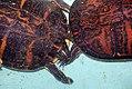 Chrysemys floridana 0zz.jpg