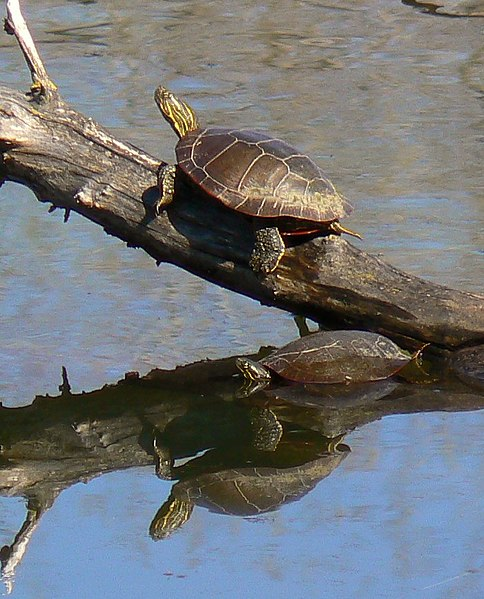 Non Water Turtles : ... as a Resting Site for Aquatic Reptiles and Amphibians - Part 2