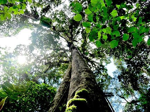 chuchuhuasi: : plantas maestras del amazonas