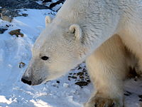 Churchill Wildlife Management Area polar bear11.JPG